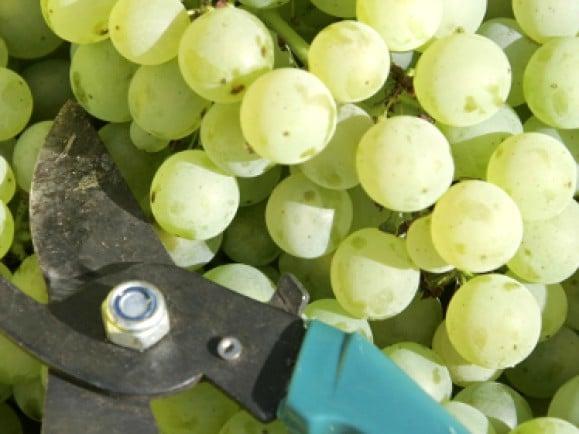Federweißer wird aus weißen Trauben gewonnen. Bei dem Traubenmost hat die Gärung gerade erst begonnen. © Jens Schlueter/dapd