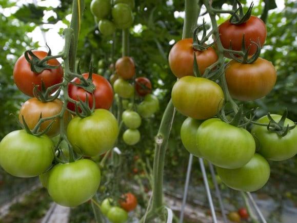 Tomaten bestehen zu 95 Prozent aus Wasser - in Zukunft dann vielleicht aus Fischwasser. Schmeckt man aber nicht, sagen die Forscher. Foto:AFP