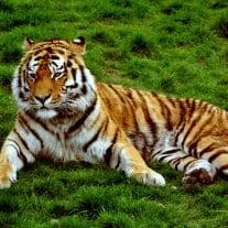 Sibirischer Tiger. Foto: Tom Bayly.