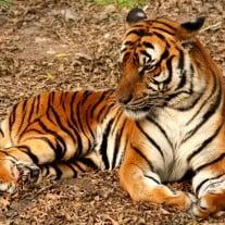 Südchinesischer Tiger. Foto: J. Patrick Fischer.