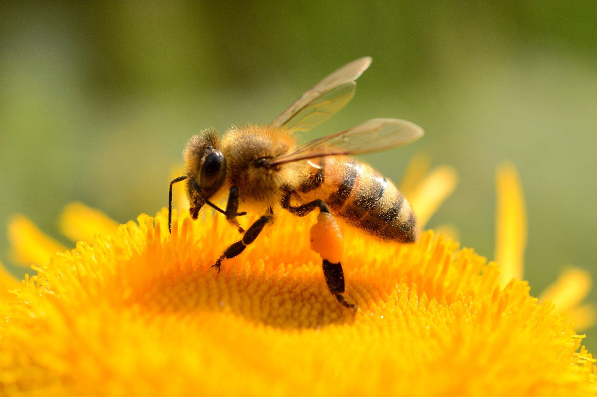 Bestäubung Bienen