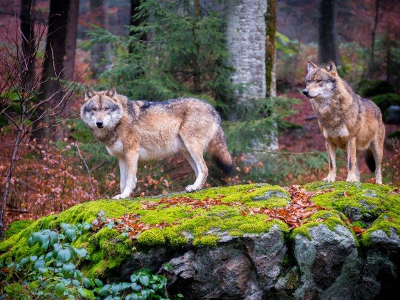 Bavarian Forest National Park - Wolves 3
