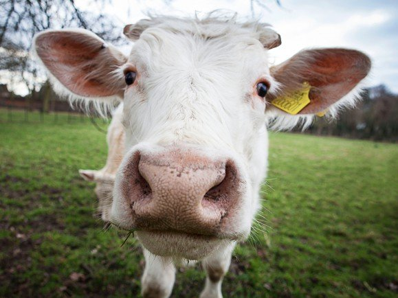 An inquisitive cow in Osterley Park, West London in Spring 2015.