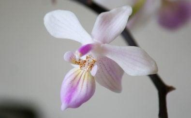 Damit die Zimmerpflanzen auch lange halten, sollte man einige Regeln berücksichtigen. Foto: Phalaenopsis lindenii/ credit: CC BY 2.0 | Maja Dumat / flickr.com