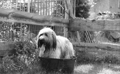 Was kann man tun, wenn der Hund stinkt? Foto: Briard taking a bath CC BY-ND 2.0 | Carsten aus Bonn / flickr.com