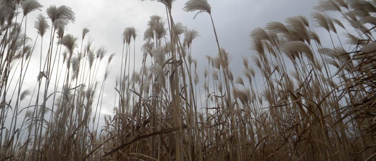 Miscanthus, auch Riesen-Chinaschilf genannt, ist ein nachwachsender Rohstoff und kann beispielsweise zum Heizen eingesetzt werden. Foto: CC BY-SA 3.0 | Bildoj / wikimedia.org