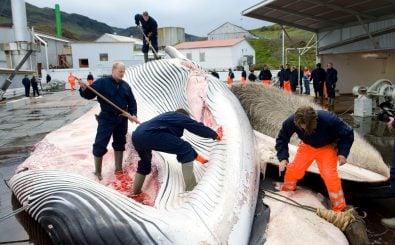 Der Walfang ist umstritten – trotzdem will Norwegen nicht damit aufhören. Foto: Halldor Kolbeins | AFP