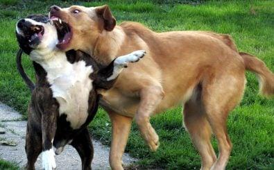 Will der nur spielen oder beißt der gleich? Foto: Daisy and Buster in a mock dog fight. | CC BY-ND 2.0 | Steve Baker / flickr.com.