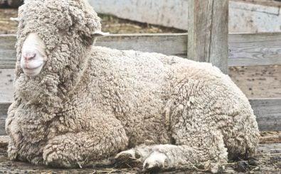 Besonders flauschig, nicht immer tiergerecht produziert: Wolle vom Merinoschaf. Foto: Merino Sheep |  Jean / flickr.com / CC BY 2.0