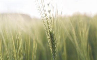 Nicht nur Bio-Bauern freuen sich über Saatgut aus ökologischer Forschung. Auch die konventionelle Landwirtschaft kann von der Forschung auf dem Feld profitieren. Foto: Getreideähre | CC BY 2.0 | David Schiersner | flickr.com