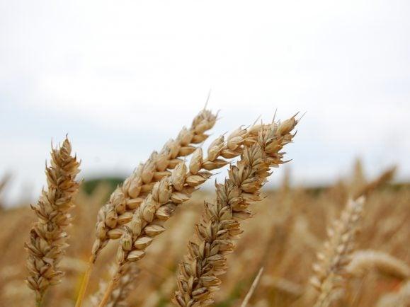 In Zukunft nur noch Einheits-Getreide? Bayer kauft Monsanto und wird damit die weltweite Nummer 1 in der Agrarchemie.