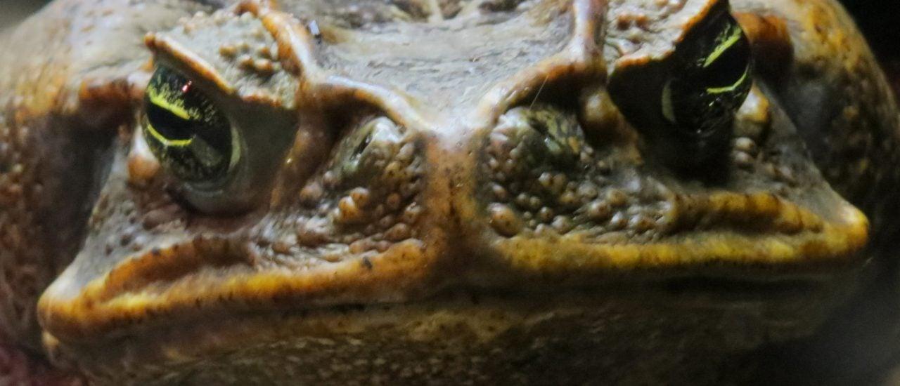 st auch diese Kröte bald eine Wurst? Die Aga-Kröte ist ein großer Schädling in Australien. Foto: Cane Toad CC BY 2.0 | Eleanor / flickr.com