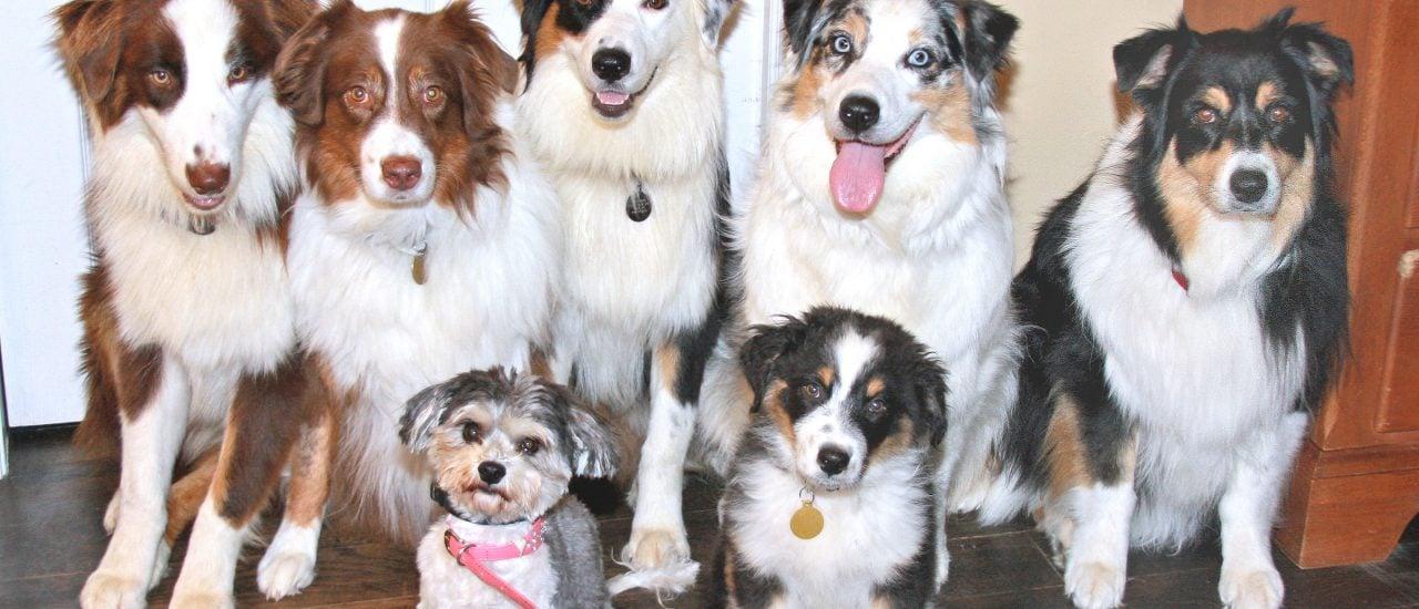 Ein Rudel Hunde zu trennen, bedeutet für die Tiere Stress. Bei einer Trennung oder Scheidung von Partnern ist deshalb der Tierschutz zu beachten. Foto: The Current Australian Shepherd Gang, July 2008 CC BY-SA 2.0 | carterse / flickr.com