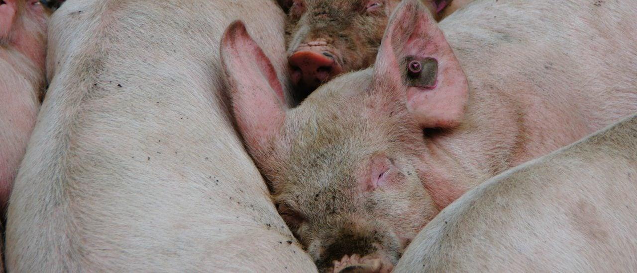 Schweine mit menschlichen Organen als Ersatzteillager für den Menschen. Forscher in Kalifornien wollen so die fehlenden Organspender ersetzen. Können sie das auch? Foto: schwein CC BY-SA 2.0 | Martin Abegglen / flickr.com