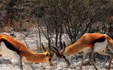 Zwei Sturköpfe können mit der richtig formulierten Kritik auch wieder zusammenfinden. Foto: Etosha Springbock Fight CC BY-SA 2.0 | Santiago Medem / flickr.com