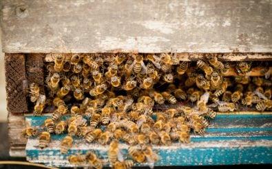 Die Hälfte der Bienenvölker in Deutschland hat den Winter nicht überlebt. Foto: Bienen | CC BY 2.0 | Jan Beck / flickr.com