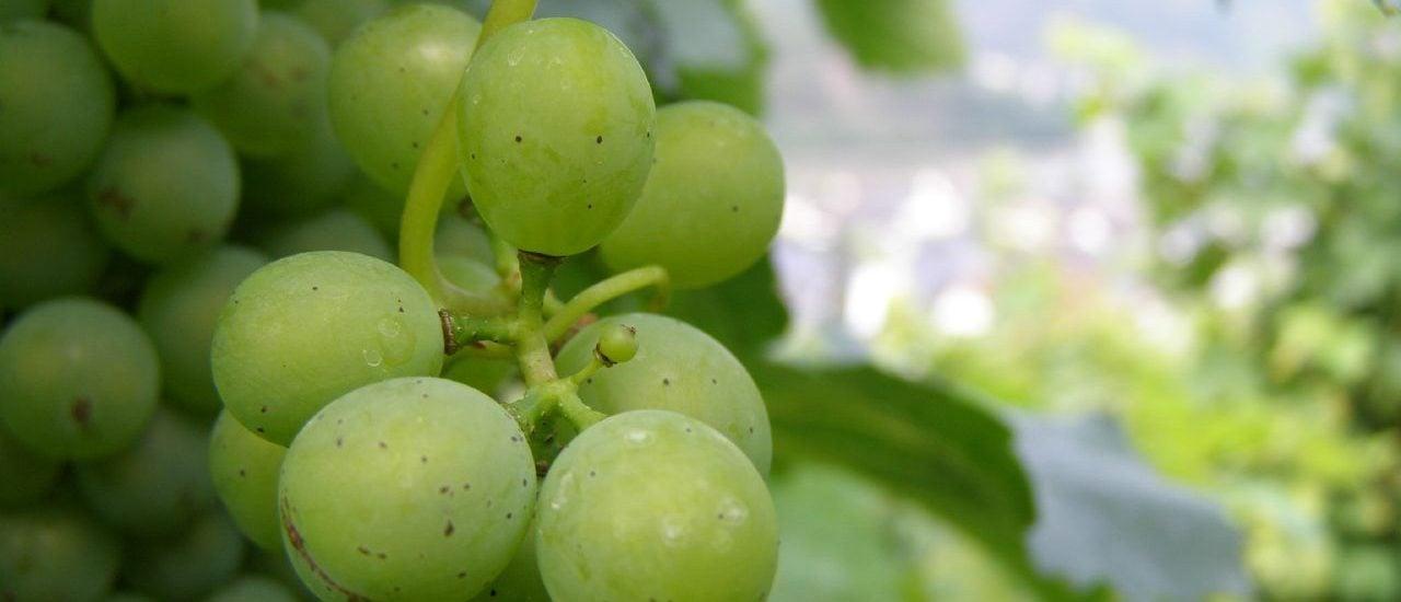 Solange die Triebe noch nicht gesprossen sind, kann der Frost dem Wein nichts anhaben. Danach aber wird's gefährlich. Foto: Mosel Wein. CC BY-ND 2.0 | Joe Shoe / flickr.com