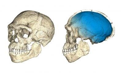 Zwei Ansichten eines am Computer zusammengesetzten Modells der in Jebel Irhoud gefundenen Überreste von Homo Sapiens. Ausgangspunkt sind tomografische Scans der Bruchstücke von insgesamt fünf Schädeln. Bild: Philipp Gunz für das Max-Planck-Institut für evolutionäre Anthropologie, CC BY-SA 2.0