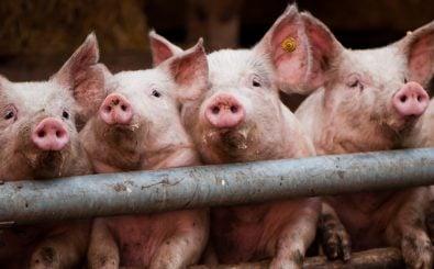 Schweine und andere Nutztiere leiden oft unter schlechten Haltungsbedingungen. Foto: party pigs (71/365) CC BY-SA 2.0 | Tim Geers / flickr.com