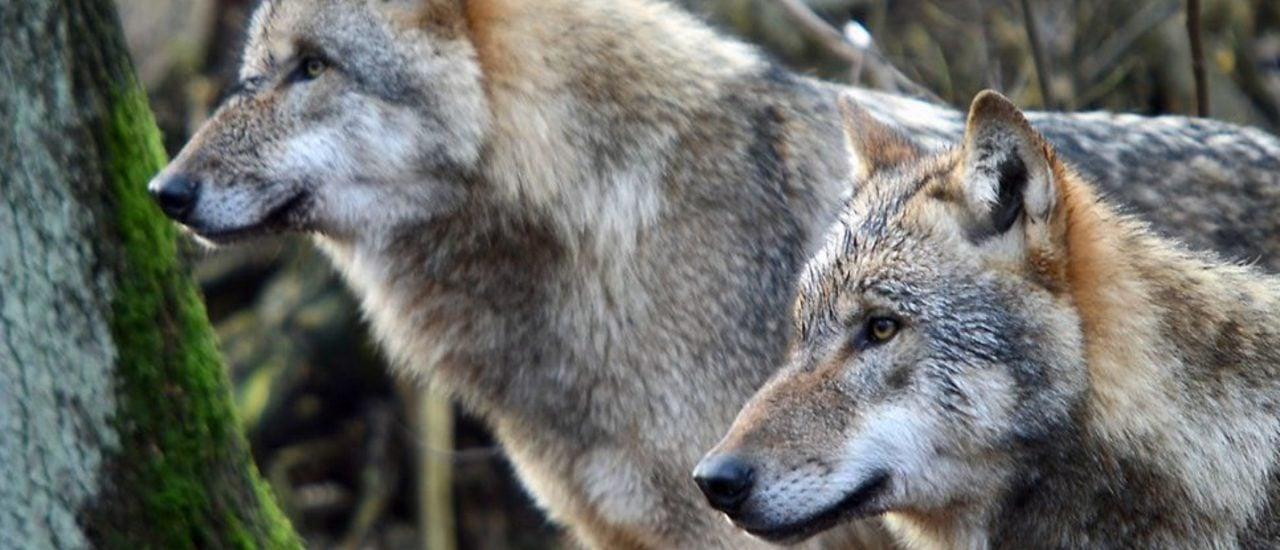 Die Wiederansiedelung des Wolfes in Deutschland weckt bei vielen Menschen starke Emotionen. Foto: Grey Wolf / Arne von Brill / CC BY 2.0 / flickr.com