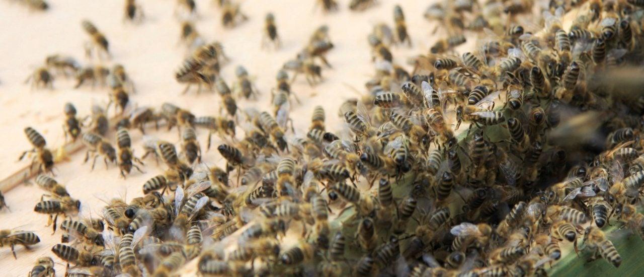 Bienen profitieren von ihrer Schwarmintelligenz. Alleine würde sie nicht überleben. Foto: Sterzelnde Bienen | CC BY 2.0 | Maja Dumat / flickr.com