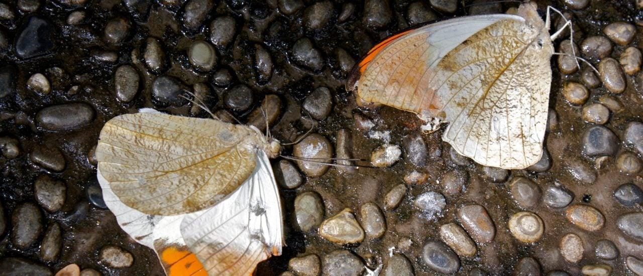 Das Insektensterben trifft alle. Nicht nur vermeintlich nervige Mücken und andere Plagegeister, sondern auch wunderschöne Schmetterlinge. Das hat dramatische Folgen für Mensch und Natur. Foto: Dead butterflies are sad | CC BY-SA 2.0 | Sam Sheffield / flickr.com