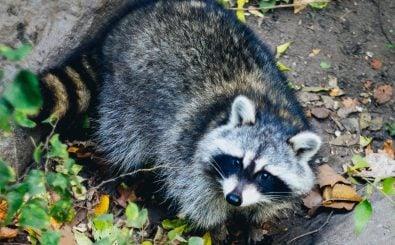 Invasive Arten wie der Waschbär stellen eine Bedrohung für heimische Tiere und Pflanzen dar. https://unsplash.com | Dan Gold / unsplash.com