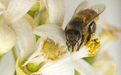 Eine Biene bei der Arbeit. Foto: Jack Guez | AFP
