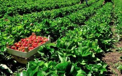 Mehrere Frauen sollen auf spanischen Erdbeerfeldern missbraucht worden sein. Foto: Ketolina | shutterstock.com