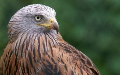 Vor allem Greifvögel wie der Rotmilan sind durch Windkraftanlagen bedroht. Foto: ehtesham | shutterstock.com