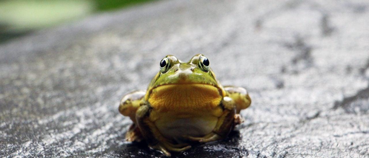 Der Frosch ist mit seiner klebrigen Zunge ein wahres Jagdtalent. Foto: Austin Santaniello Bucholtz | Unsplash