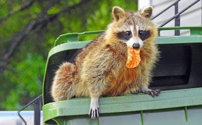 Waschbären sind invasive Arten. Sie kommen ursprünglich aus Nordamerika. Foto: Magalie St. Hilaire Poulin | shutterstock.com