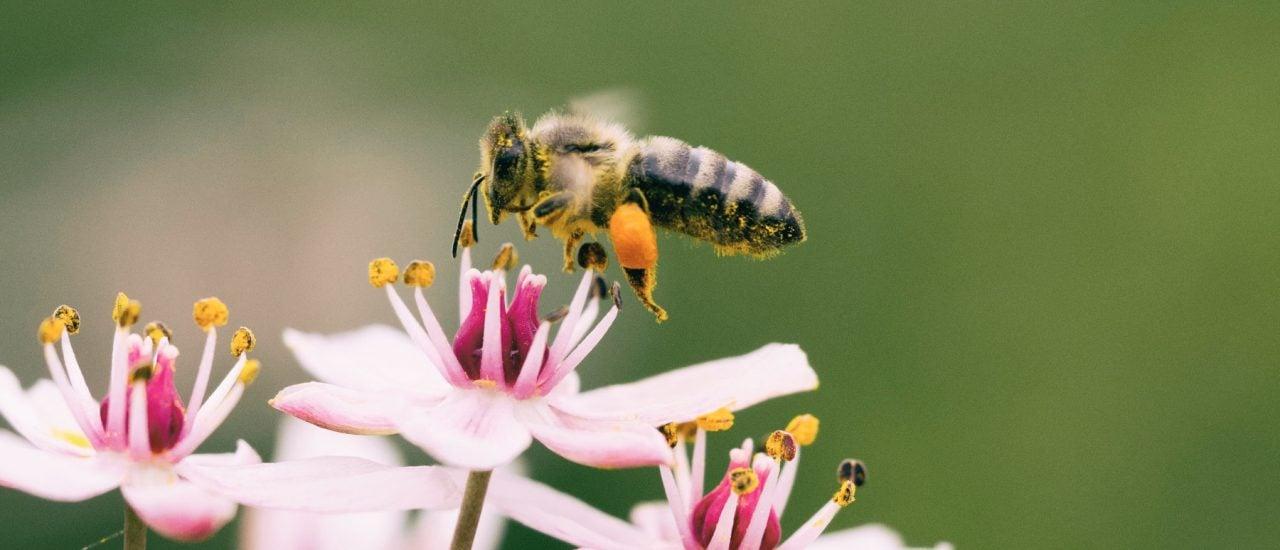 Insekten sind wichtig für die Bestäubung von vielen Nutzpflanzen. Foto: Aaron Burden | Unsplash