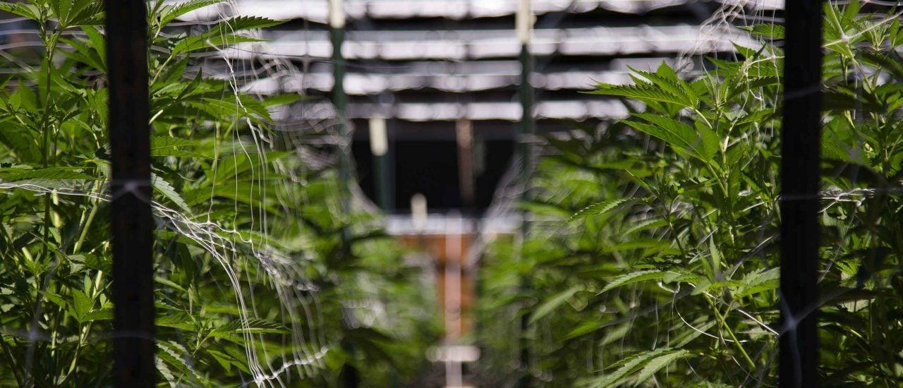 Hanf ist ein sehr anspruchsloses Gewächs, welches schnell und auf jedem Boden angebaut werden. Machen diese Eigenschaften Cannabis Sativa zum Rohstoff der Zukunft? Foto: Ryland zweifel | Shutterstock