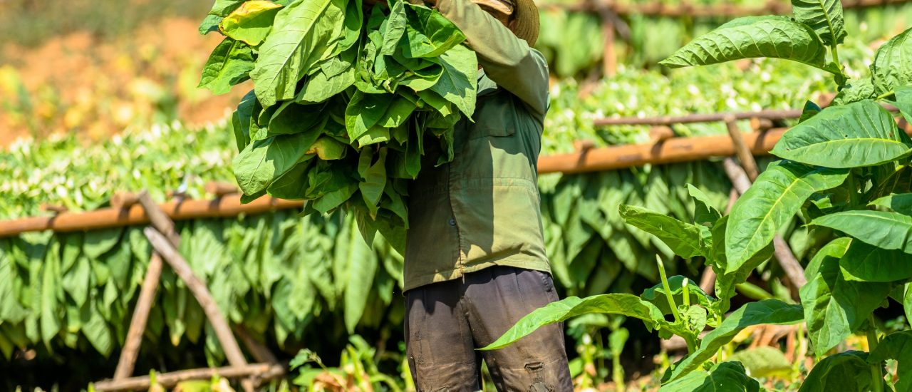 Der Anbau von Tabak verursacht in den Anbauregionen Probleme für Mensch und Umwelt. Foto: Zharov Pavel | shutterstock.com