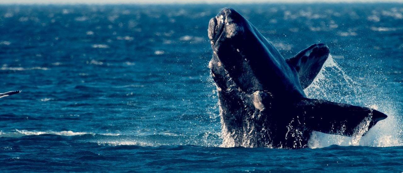 Zum ersten Mal ist es einem Forscherteam gelungen, den Gesang der stark bedrohten Pazifischen Nordkaper aufzuzeichnen. Foto: Mariano Jedrzejewski | shutterstock