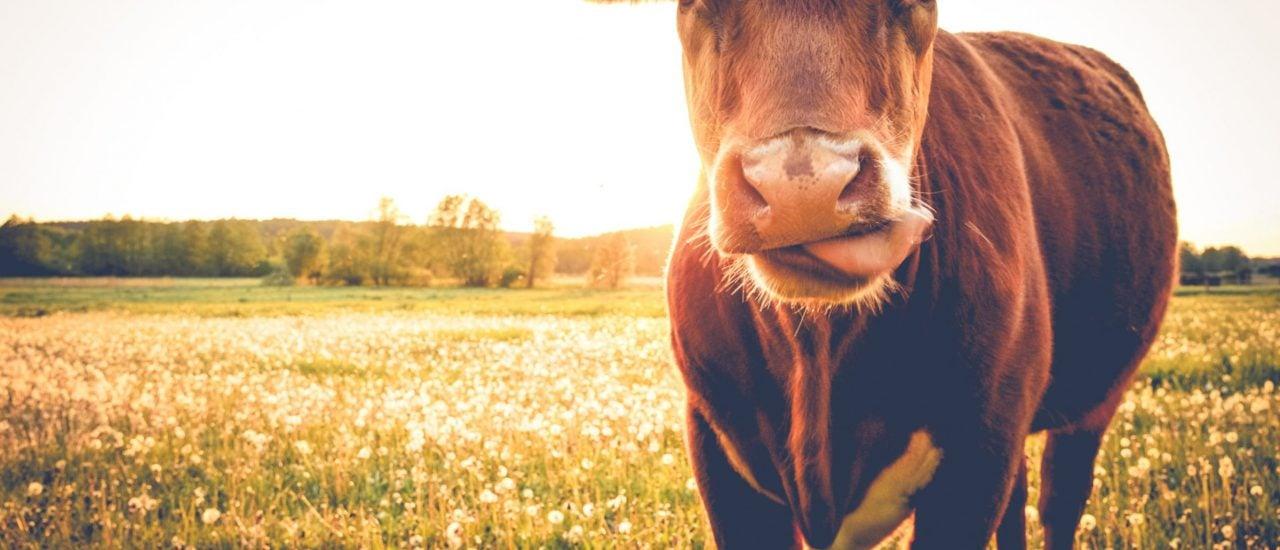 So viel Gras sieht nicht jede Kuh in Deutschland. Foto: shutterstock.com | SehrGuteFotos